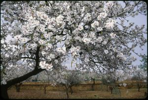 sicily-almond-tree-scan.jpg